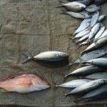 Świeża ryba tonie