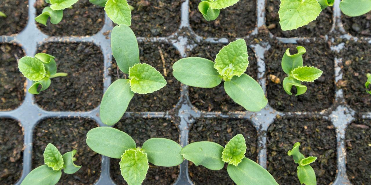 Jak przygotować rośliny z rozsady?