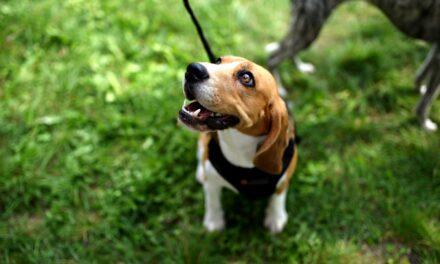 Jak karmić psa alergika?