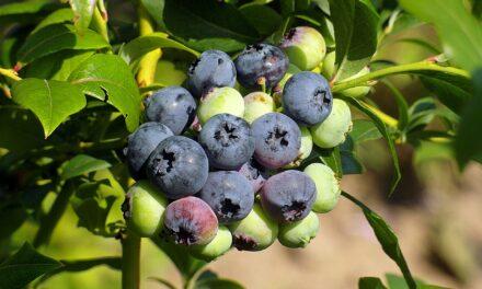 Borówki amerykańskie — poznaj korzyści płynące z jedzenia tych słodkich kulek
